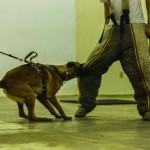 Protection Dog Training Austin Texas