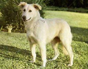 aidi dog breed