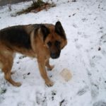 Alsatian Training