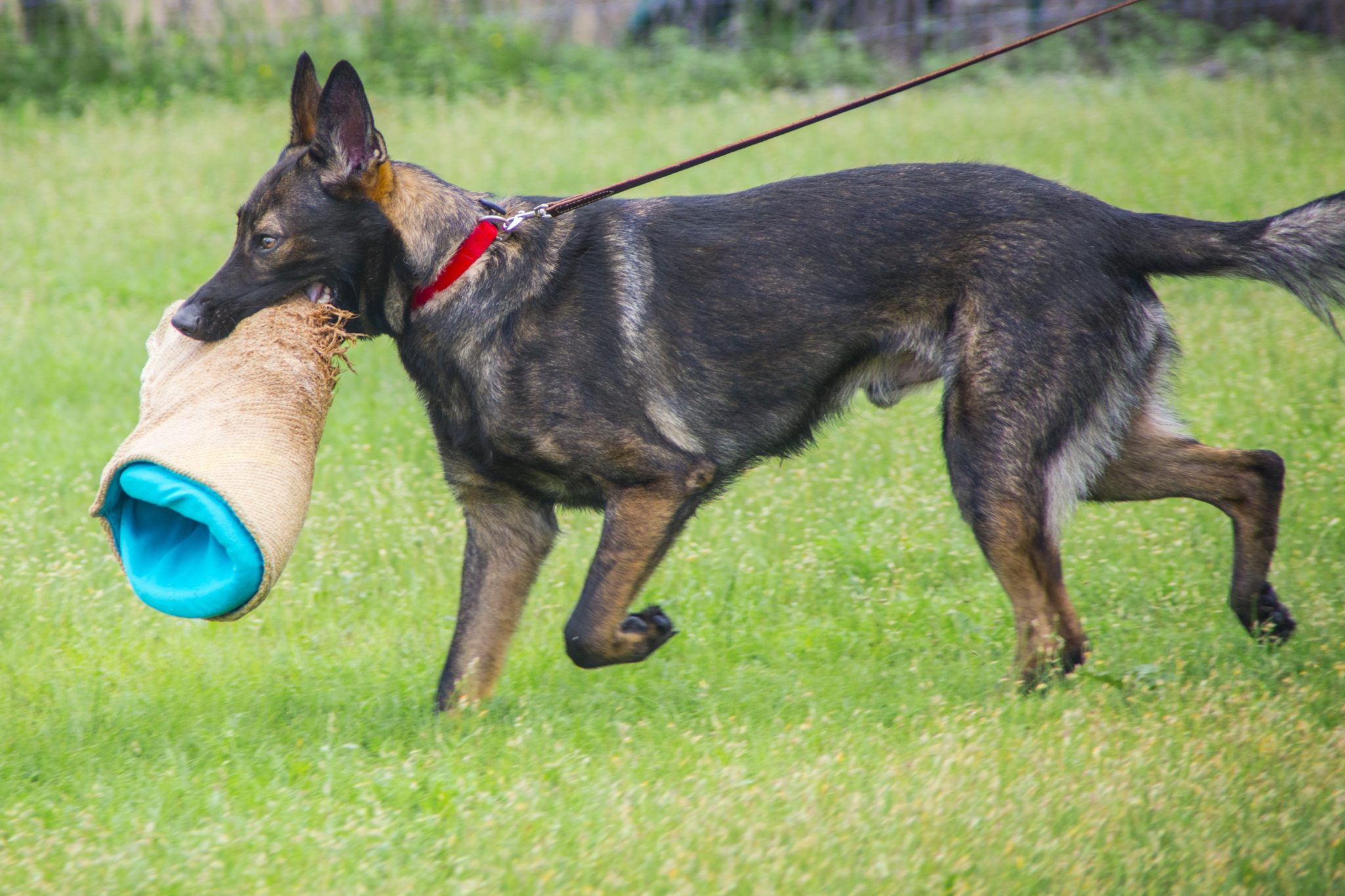 Protection Dog Training Austin Texas   Personal Protection
